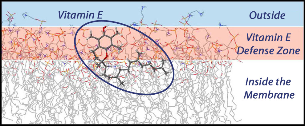 vitamine_membrane